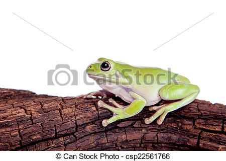 Stock Image of Australian Green Tree Frog on white background.