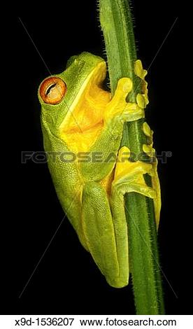 Picture of A red eyed green tree frog, Litoria chloris Coffs.