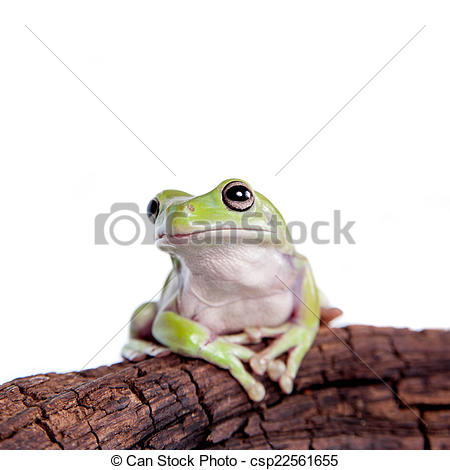 Stock Images of Australian Green Tree Frog on white background.
