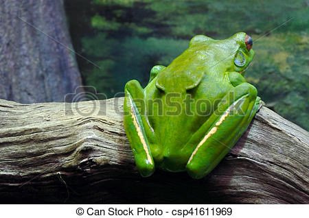 Stock Image of Australian green tree frog in Sydney New South.