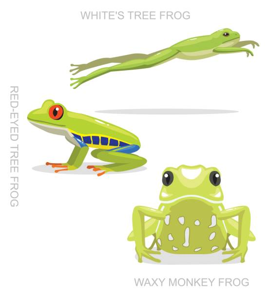Australian Red Eyed Tree Frog Clip Art, Vector Images.