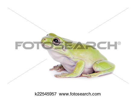 Picture of Australian Green Tree Frog on white background.