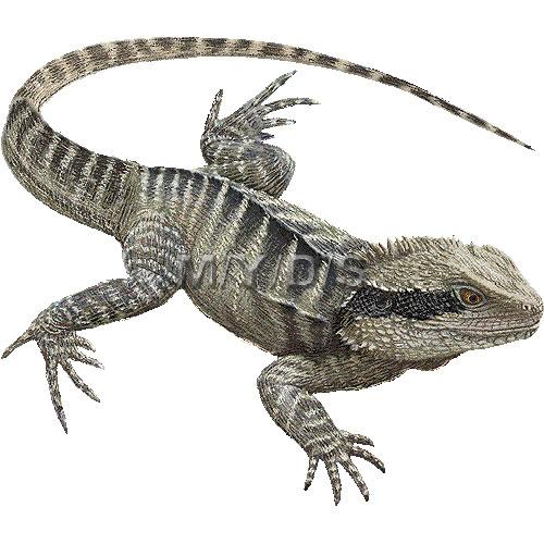 Australian Water Dragon clipart graphics (Free clip art.