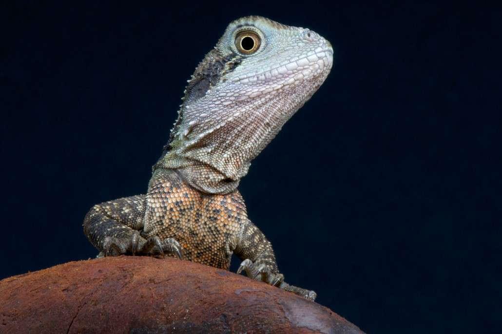 Eastern Water Dragon Diet, Habitat & Reproduction.