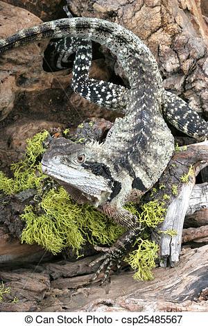Stock Image of Australian Water Dragon (Physignathus lesueurrii.