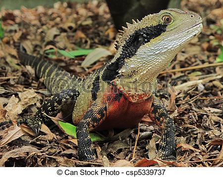 Picture of close shot of an australian water dragon looking at the.