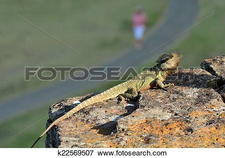 Picture of Australian Eastern Water Dragon k22569507.