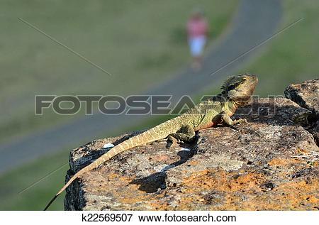 Picture of Australian Eastern Water Dragon k22569507.