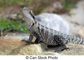 Stock Image of Australian Water Dragon (Physignathus lesueurrii.