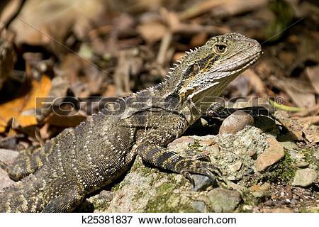 Picture of Australian water dragon k25381837.
