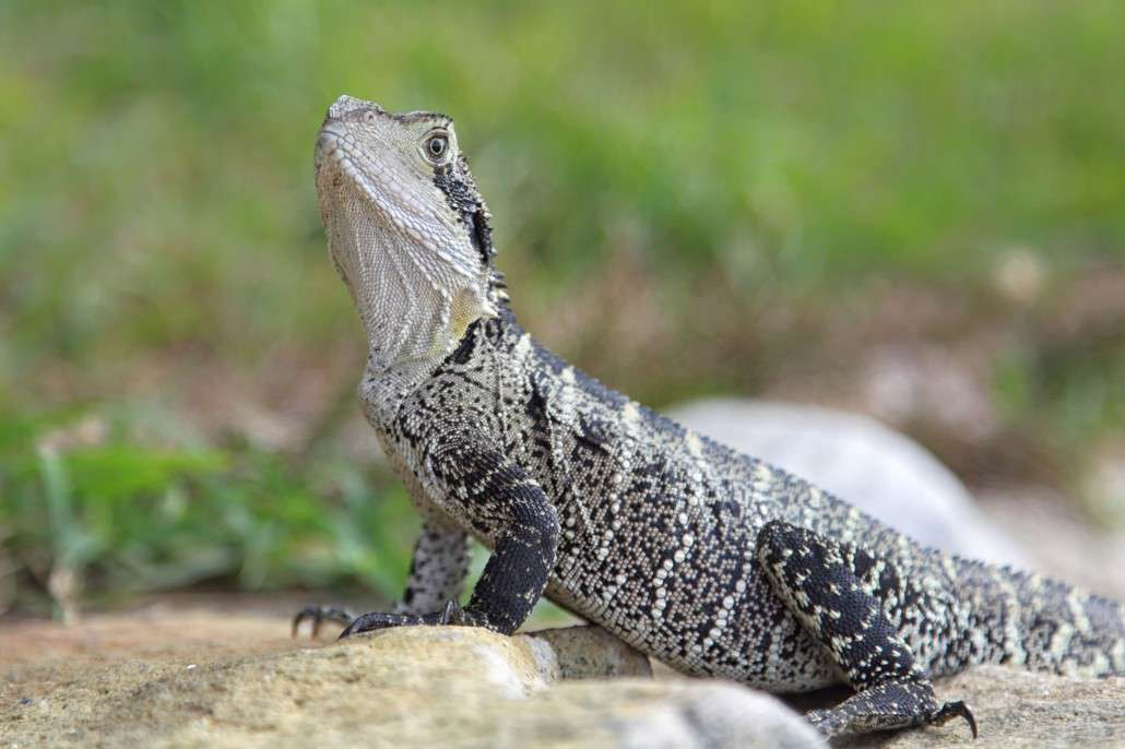Eastern Water Dragon Diet, Habitat & Reproduction.