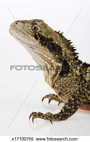 Stock Image of Australian Water Dragon (Physignathus lesueurii.