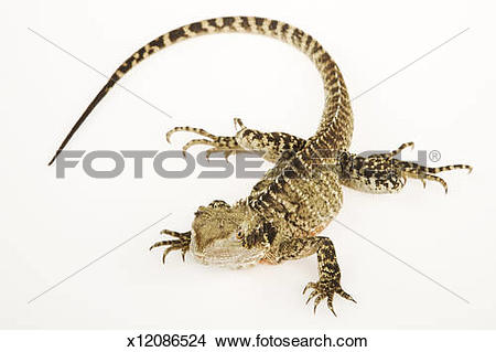 Stock Photo of Australian Water Dragon (Physignathus lesueurii.