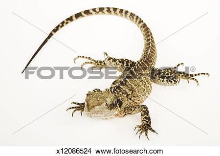 Stock Photo of Australian Water Dragon (Physignathus lesueurii.