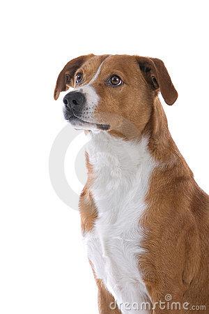 Austrian Pinscher Dog Royalty Free Stock Image.