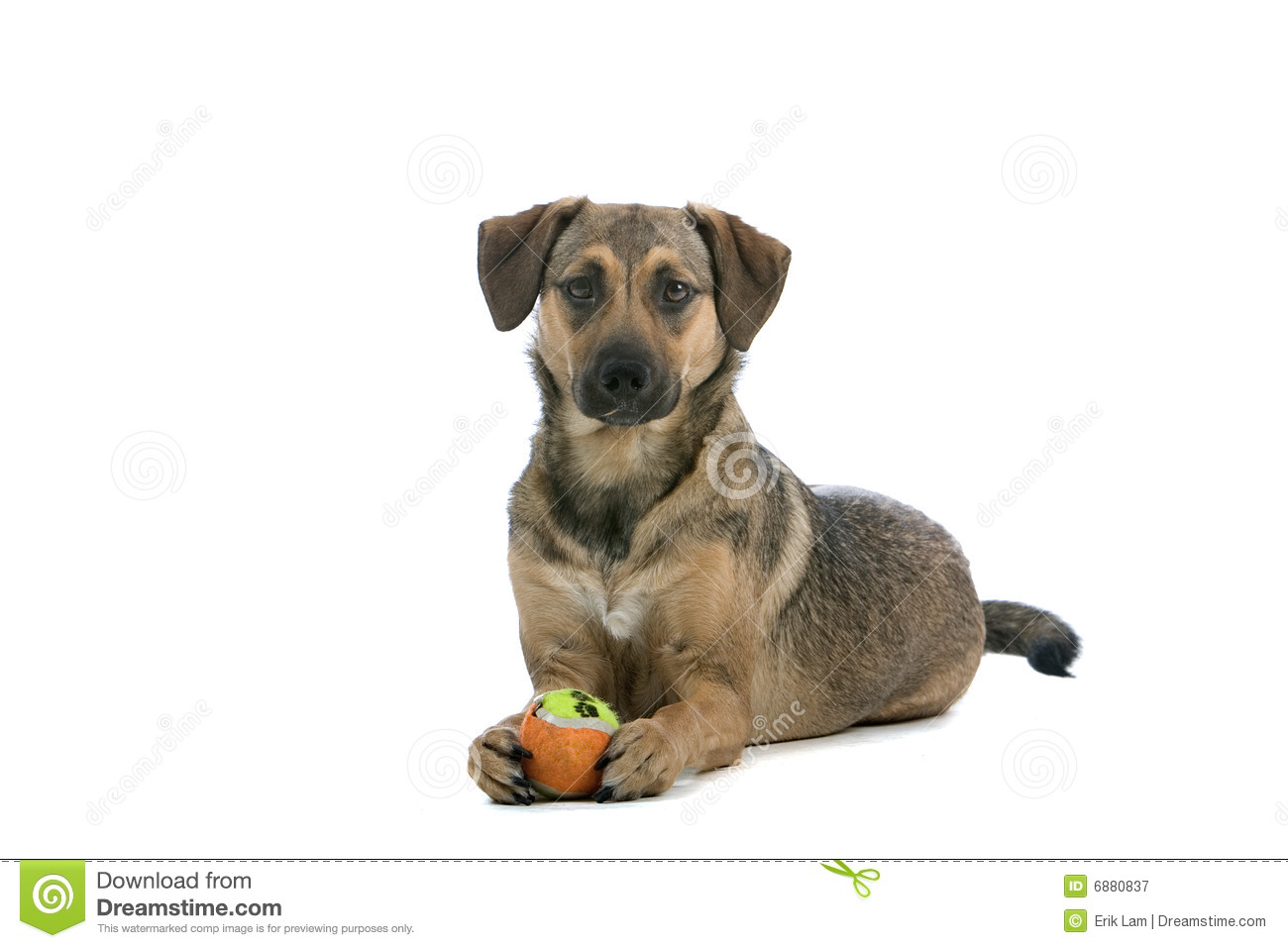Austrian Pinscher Dog Royalty Free Stock Photography.