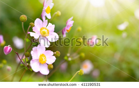 Autumn Anemone Stock Photos, Royalty.