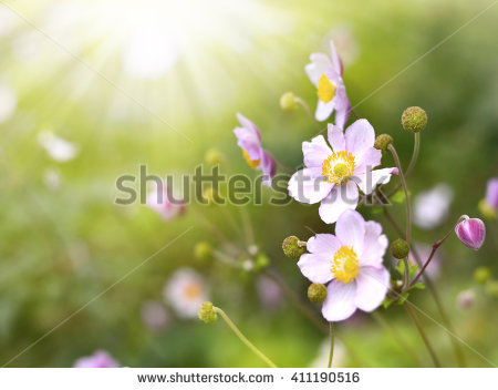 "autumn Anemone"" Stock Photos, Royalty."