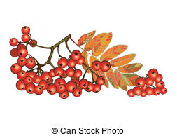 Ash berry Illustrations and Clipart. 628 Ash berry royalty free.