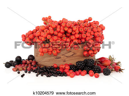 Stock Photograph of Wild Autumn Berry Fruit k10204579.