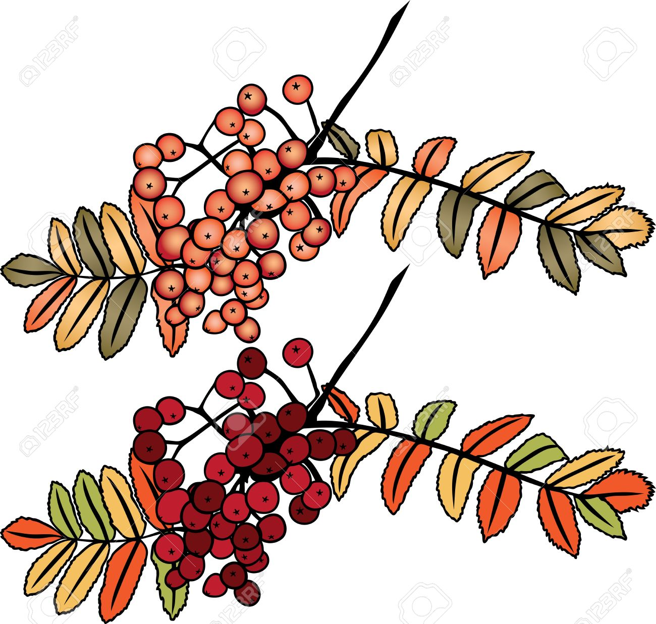 Autumn Rowan Berry Branch In Two Variants Royalty Free Cliparts.