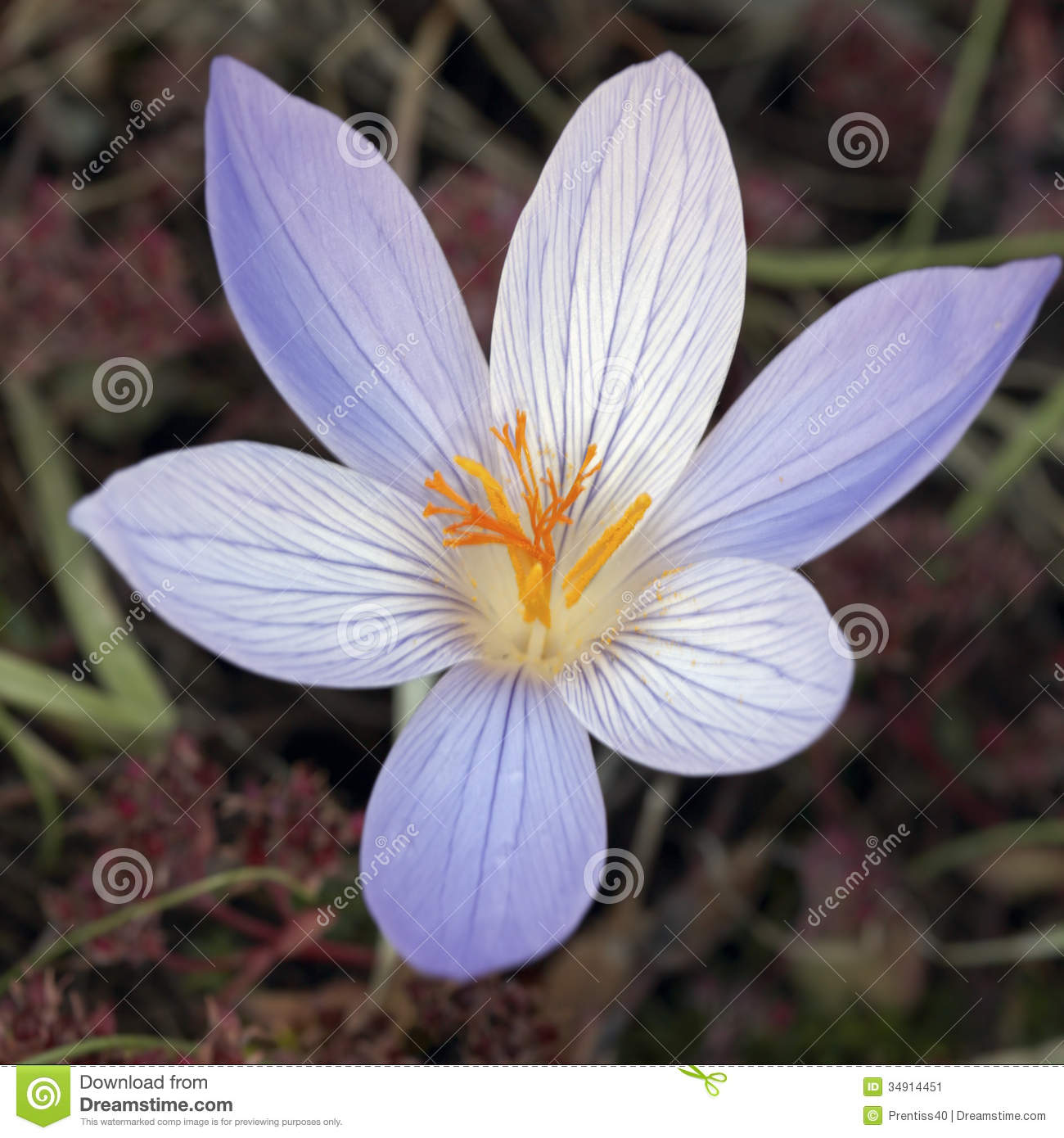 Autumn Crocus Stock Image.