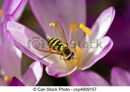 Picture of Hover Fly On Autumn Crocus.