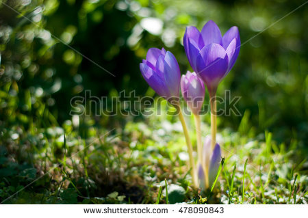 Autumn Crocus Stock Photos, Royalty.