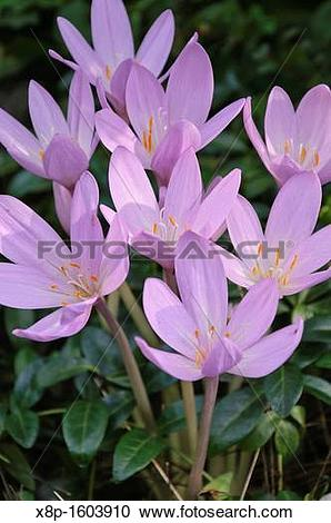 Stock Photography of Autumn crocus Colchicum autumnale x8p.