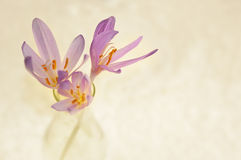 Bee Pink Flower Colchicum Autumnale Stock Illustrations.