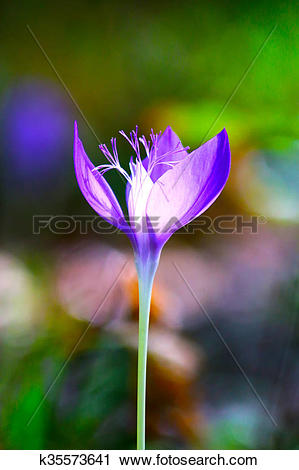 Stock Photography of Colchicum autumnale, autumn crocus k35573641.