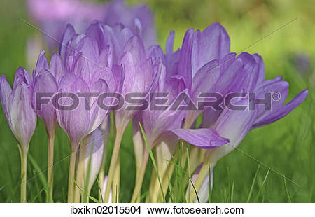 "Stock Photo of ""Autumn Crocus, Meadow Saffron or Naked Lady."