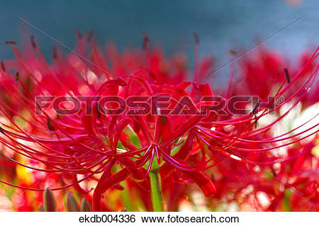 Stock Images of Red spider lilies ekdb004336.