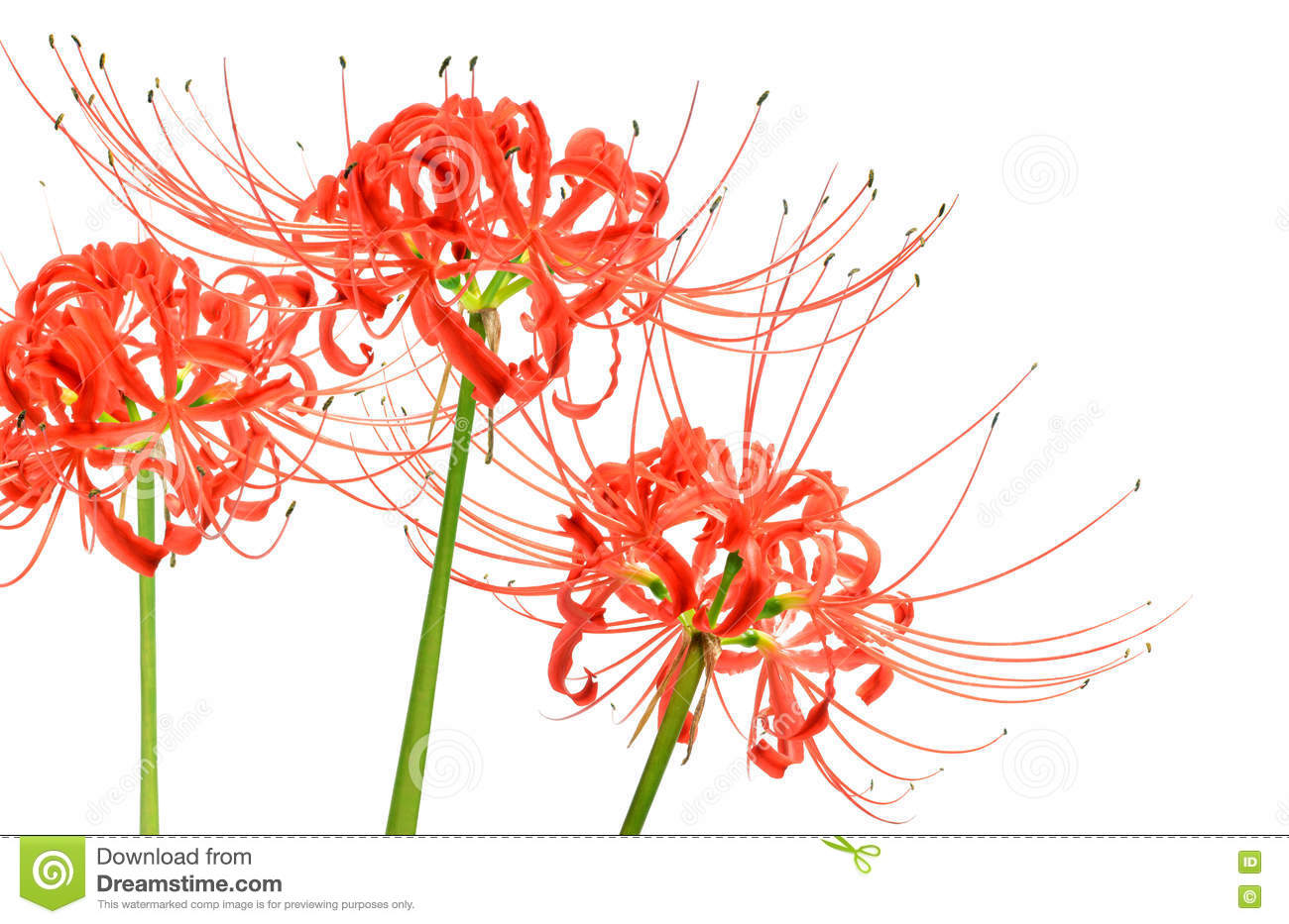 Red Spider Lily Flowers Stock Photos.