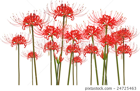cluster amaryllis, red spider lily, autumn.