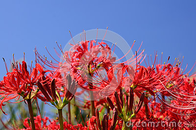 Spider Lily Flowering Stock Photo.