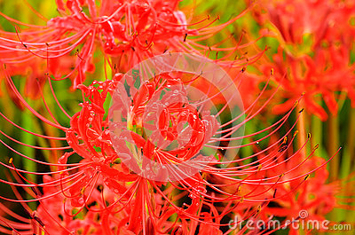 Red Spider Lily Stock Photos.