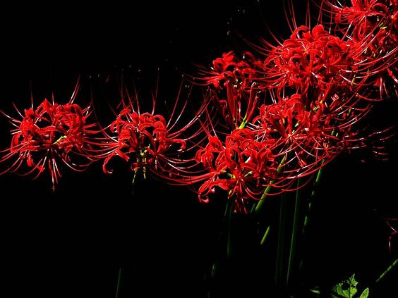 Red spider lily flower wallpapers Picture 15.