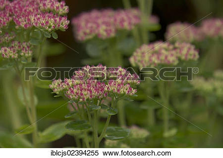 "Stock Image of ""Showy Stonecrop (Sedum spectabile, Hylotelephium."