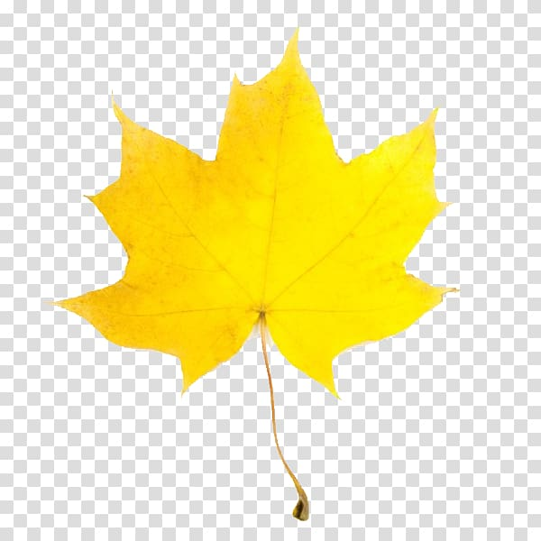 Leaf Yellow Maple Autumn , Fall Leaves transparent.