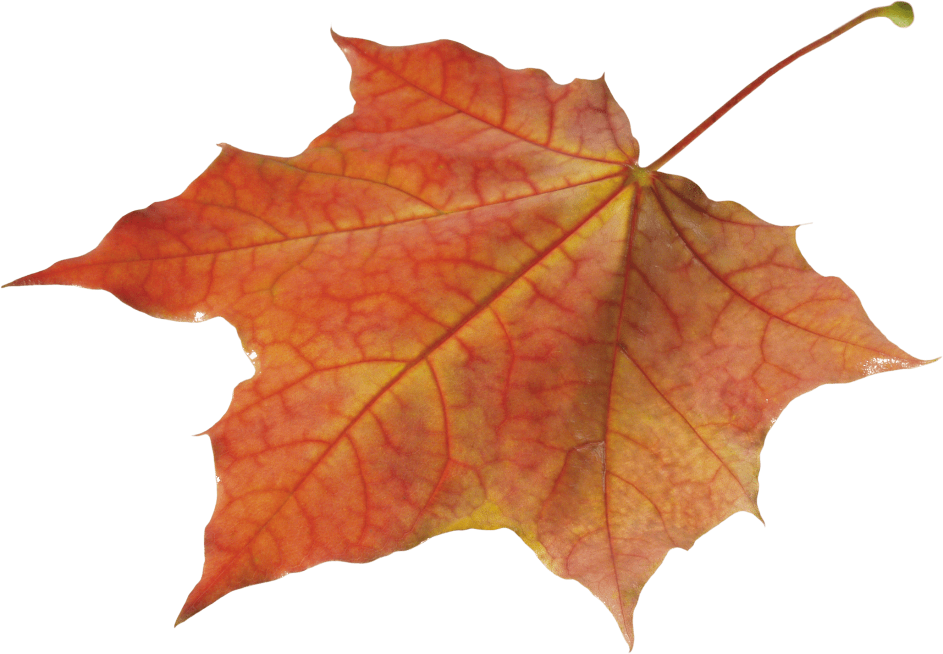 Autumn Leaves Solo Left transparent PNG.