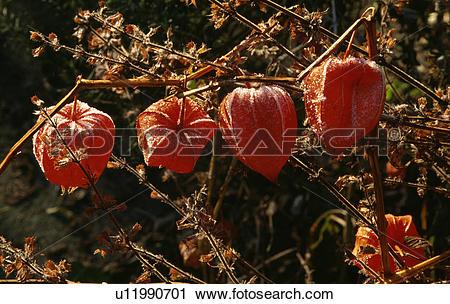 Stock Photography of orange, perennial, physalis, chinese lantern.