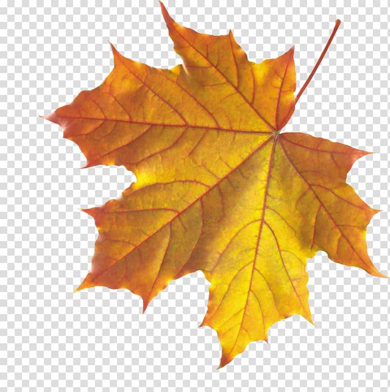 Orange maple leaf, Autumn leaf color Maple leaf, autumn leaf.