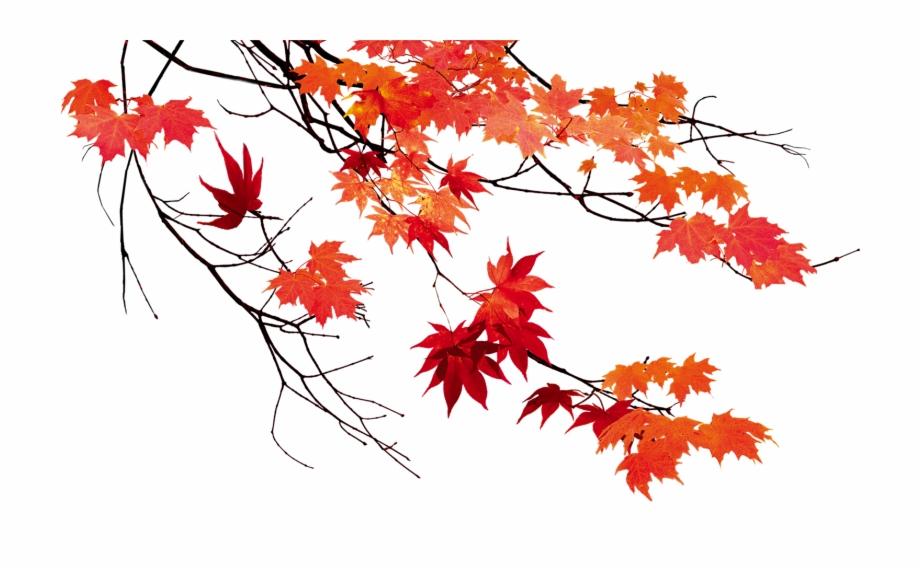 Beautiful Leaf Color Leaves Autumn Maple Clipart.