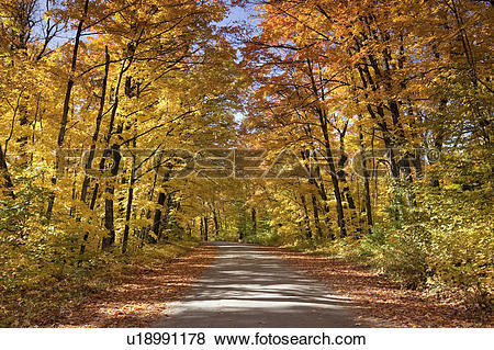 Pictures of A jogger takes an Autumn run down the brilliant yellow.