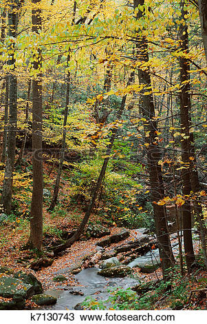 Stock Photo of Autumn woods with yellow maple trees and creek.