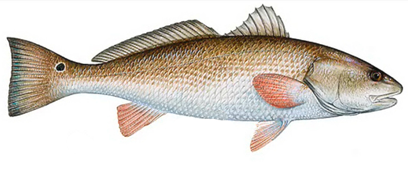Red Drum Clipart.