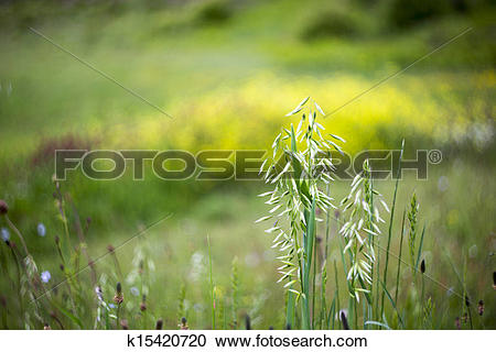 Stock Photography of Wild oat , Avena fatua k15420720.