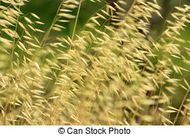 Picture of Stems of wild oats (Avena fatua) on the blurry.