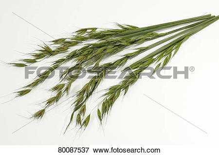 Picture of DEU, 2008: Common Wild Oat (Avena fatua), stems with.